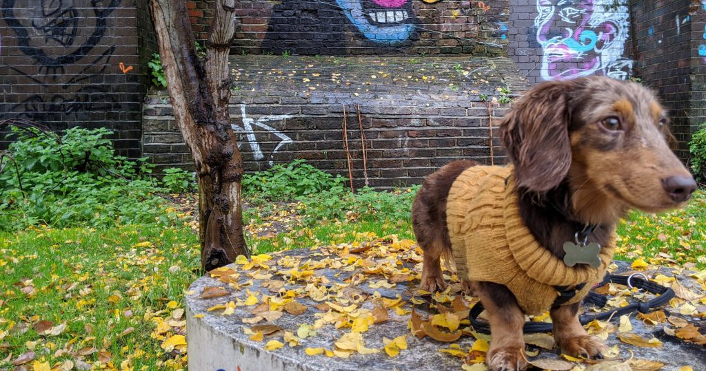 Mr Biscuit, the miniature dachshund, wearing a mustard yellow-coloured jumper, standing in front of a grafitti wall amongst some autumn leaves.